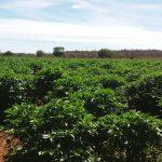 Biquinho Pepper Farm - Ship From Brazil