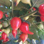Brazilian Habaero Pepper planting - Ship From Brazil