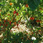 Red Biquinho Pepper - Ship From Brazil