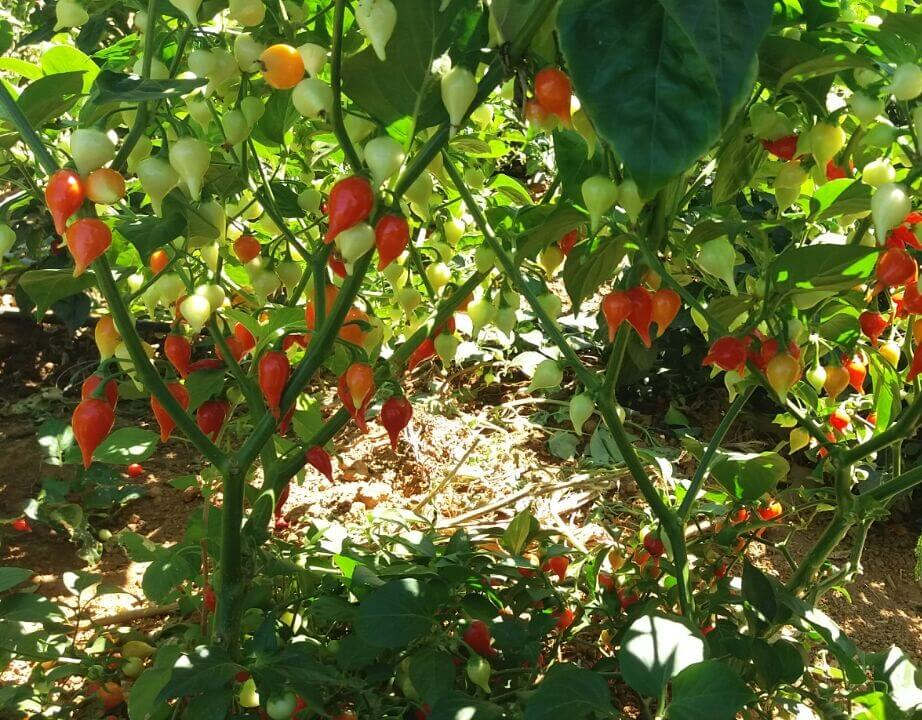 Biquinho Pepper Producer